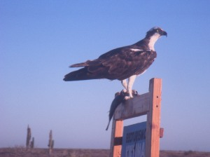 an Osprey, fish in-hand