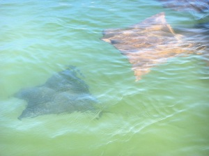 I photograph a Golden Ray and an Eagle Ray from the Zodiac.