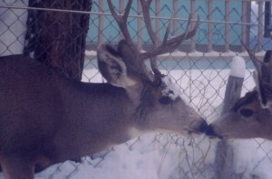 Hunting season and the deer have come to safety in town. Two of ten deer outside my bedroom window at dawn.