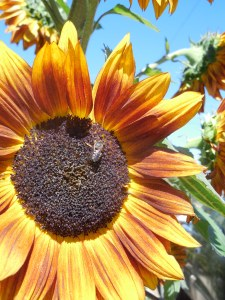 Little does this sunflower know that the Grim Reaper lurks.