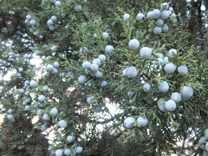The plumpest ever Juniper berries. We can feed the birds, make Gin or season or Sauerbraten. Your choice.