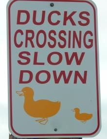 2017 06 01 duck 001