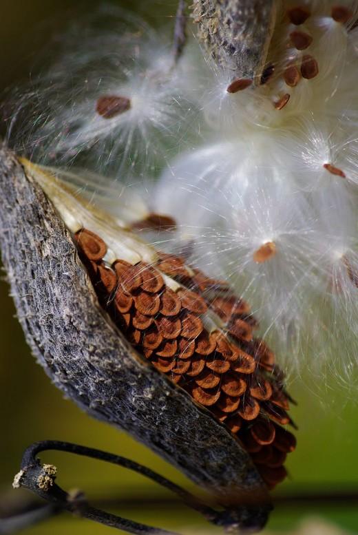 2020 04 milkweed pod